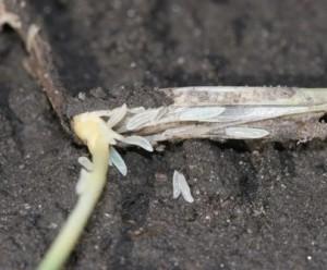 HF larvae